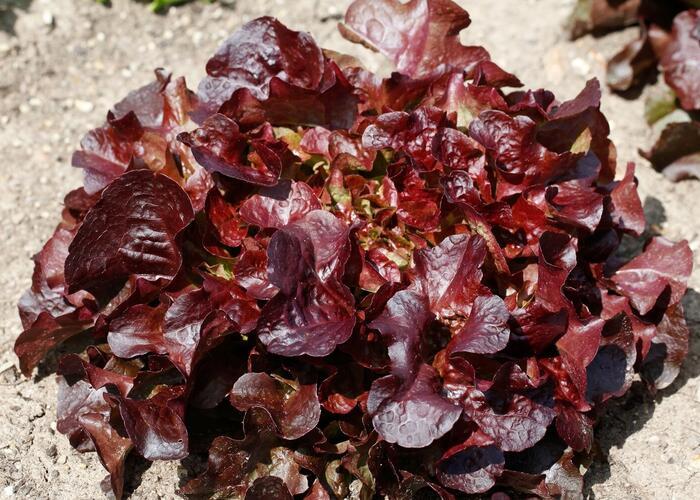 Salát listový 'Verala' - Lactuca sativa var. crispa 'Verala'