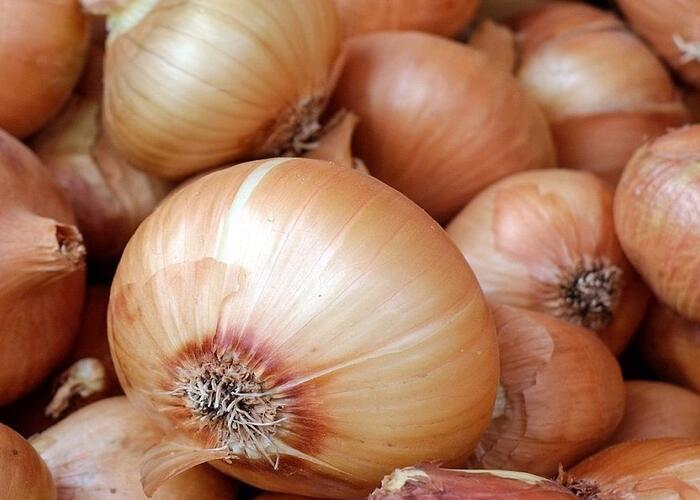 Cibule šalotka 'Golden Gourmet' - Allium cepa 'Golden Gourmet'