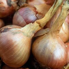 Cibule šalotka 'Mikor' - Allium cepa 'Mikor'