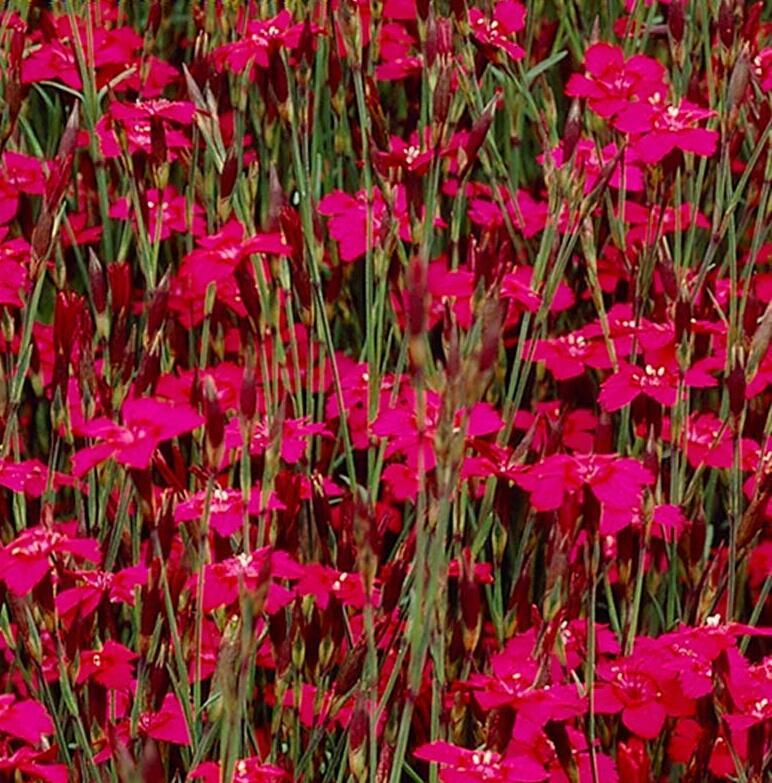 Hvozdík kropenatý 'Confetti Deep Red' - Dianthus deltoides 'Confetti Deep Red'