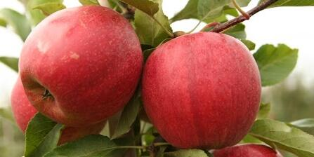 Jabloň zimní 'Schniga' - Malus domestica 'Schniga'