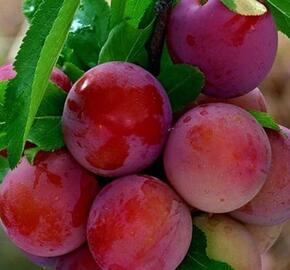 Slivoň 'Kuban Komet' - Prunus hybrid 'Kuban Komet'