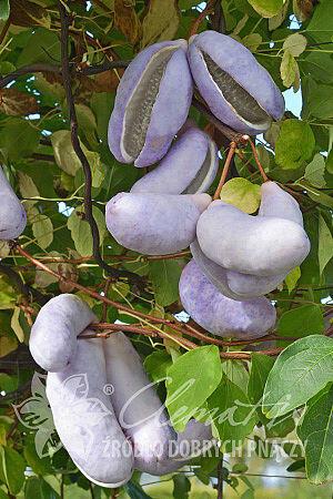 Akébie trojčetná - Akebia trifoliata