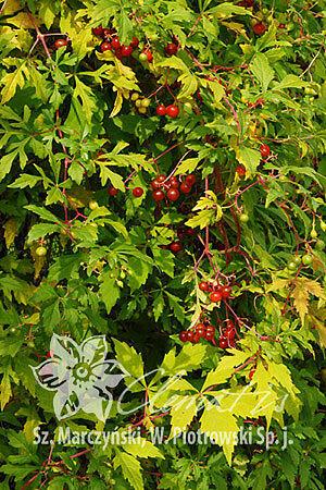 Révovník (loubinec) omějolistý 'Seattle' - Ampelopsis aconitifolia 'Seattle'