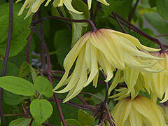 Plamének 'Golden Dream' - Clematis 'Golden Dream'