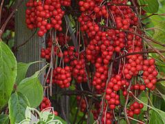 Klanopraška čínská - Schisandra chinensis