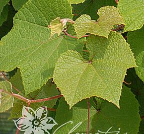 Réva amurská - Vitis amurensis