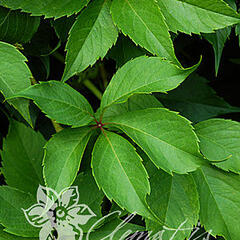 Přísavník pětilistý, loubinec 'Murorum' - Parthenocissus quinquefolia 'Murorum'