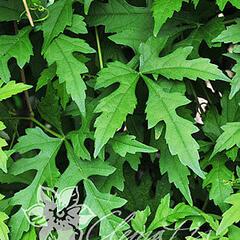 Révovník (loubinec) omějolistý - Ampelopsis aconitifolia