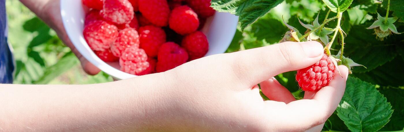 maliník sběr plody