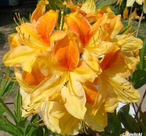 Pěnišník měkký 'Golden Flare' - Azalea mollis 'Golden Flare'