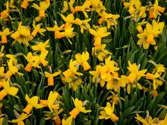 Narcis 'Jetfire' - Narcissus 'Jetfire'
