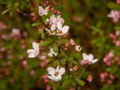 Tavolník Thunbergův 'Fujino Pink' - Spiraea thunbergii 'Fujino Pink'
