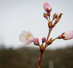 Trnka obecná 'Rosea' - Prunus spinosa 'Rosea'