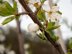 Višeň chloupkatá - Prunus subhirtella