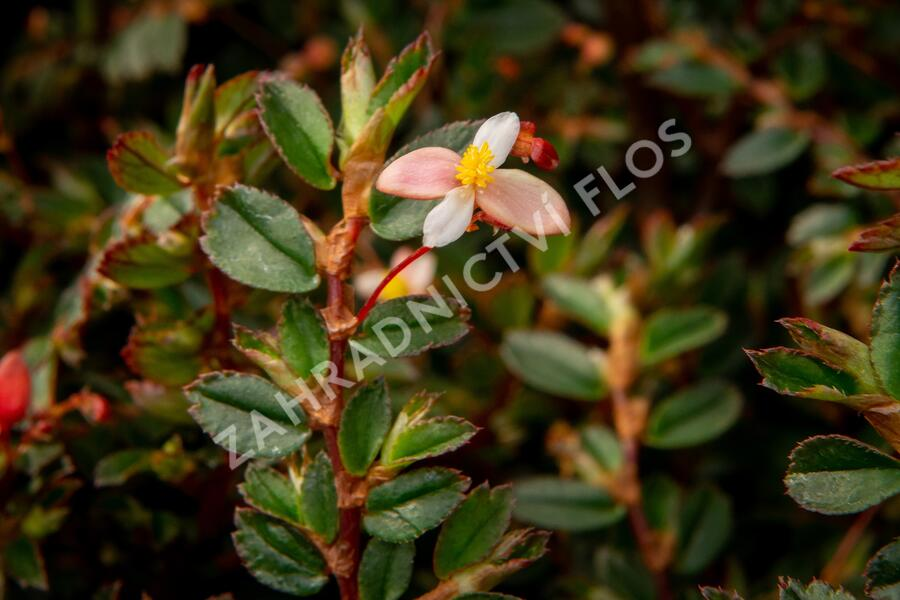 Begónie listnatá - Begonia foliosa