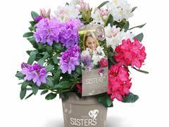 Pěnišník 'Three Sisters' - Rhododendron 'Three Sisters'
