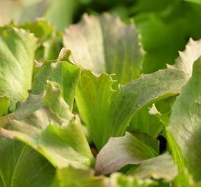 Salát hlávkový ledový 'Derel' - Lactuca sativa var. capitata 'Derel'