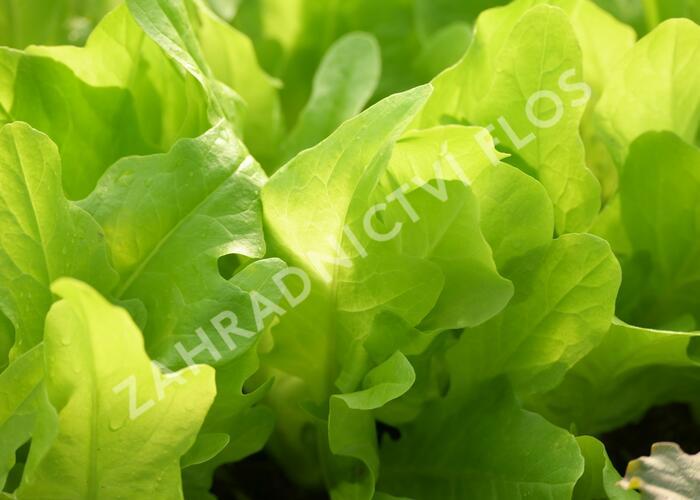 Salát listový 'Dubáček' - Lactuca sativa var. capitata 'Dubáček'