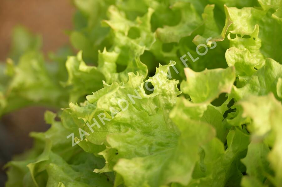 Salát listový 'Merlot' - Lactuca sativa var. crispa 'Merlot'