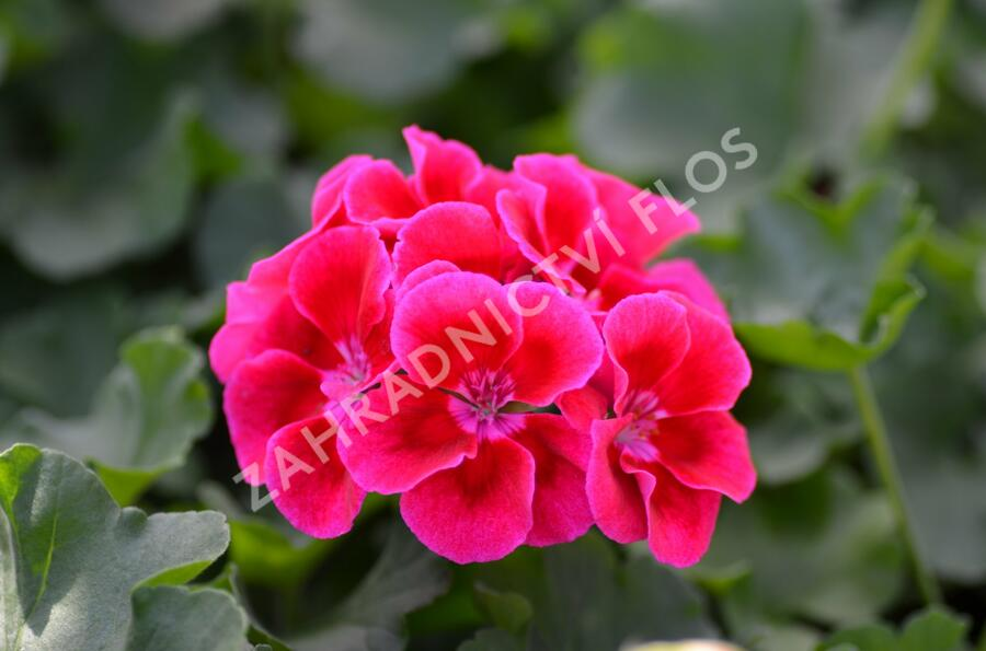 Muškát, pelargonie půdopokryvná plnokvětá 'Calliope Red Splash' - Pelargonium hybridum 'Calliope Red Splash'