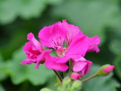 Muškát, pelargonie půdopokryvná plnokvětá 'Calliope Lavender Rose' - Pelargonium hybridum 'Calliope Lavender Rose'