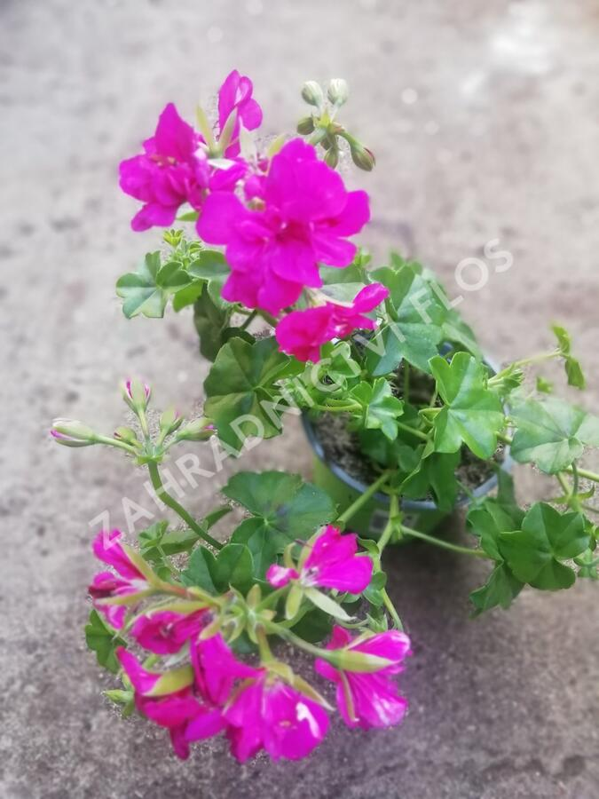 Muškát, pelargonie převislá plnokvětá 'Double Dark Pink' - Pelargonium peltatum 'Double Dark Pink'