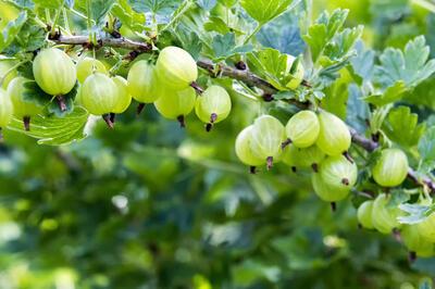 angrešt plody na keři STŘEDNÍ