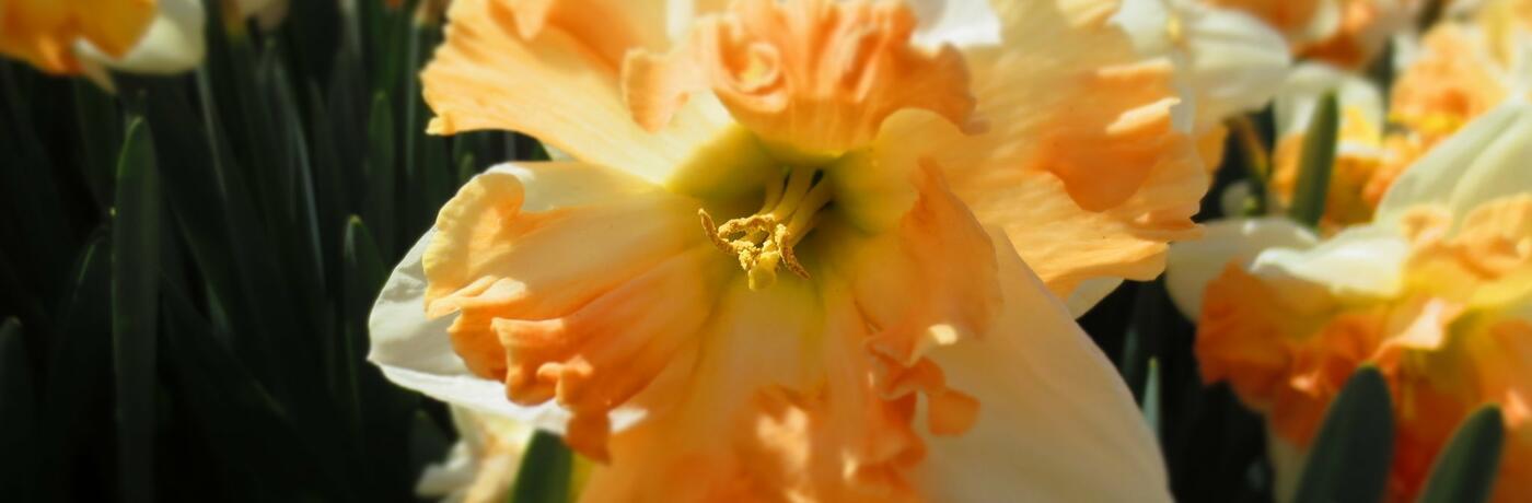 Narcissus ''Apple Pie'' detail květu IV
