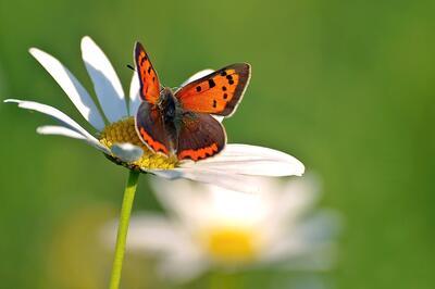 kopretina a motýl
