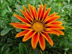 Gazánie zářivá 'Siesta Orange Flame' - Gazania rigens 'Siesta Orange Flame'
