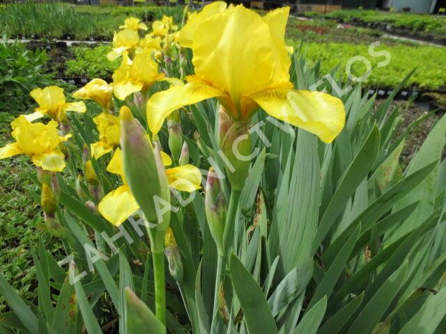 Kosatec německý 'Goldfackel' - Iris barbata-elatior 'Goldfackel'