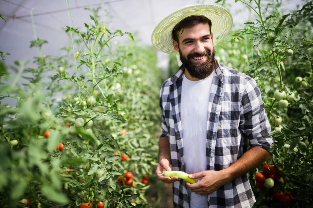mladý fousáč sklízí zeleninu ve skleníku