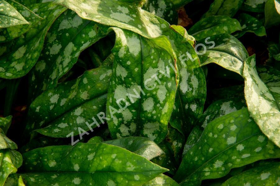 Plicník skvrnitý 'Lewis Palmer' - Pulmonaria saccharata 'Lewis Palmer'