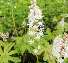 Mitrovnička 'Candy Striper' - Tiarella cordifolia 'Candy Striper'