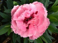 Hvozdík karafiát 'Oscar® Pink and Purple' - Dianthus caryophyllus 'Oscar® Pink and Purple'