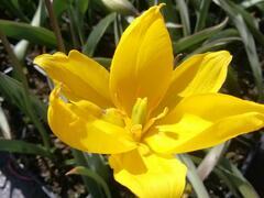 Tulipán botanický lesní - Tulipa sylvestris