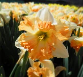 Narcis 'Apple Pie' - Narcissus 'Apple Pie'