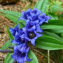 Hořec lékařský - Gentiana officinalis