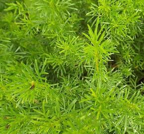 Aksamitník, nepravá lékořice 'Irish Lace' - Tagetes filifolia 'Irish Lace'