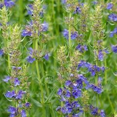 Yzop lékařský 'Blues' - Hyssopus officinalis 'Blues'
