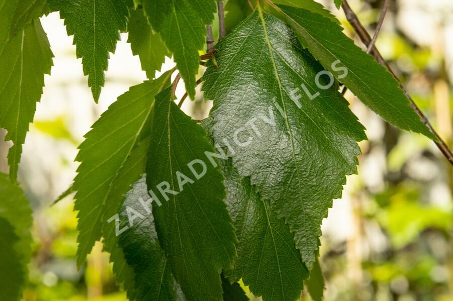 Bříza himalájská 'Pendula' - Betula utilis 'Pendula'
