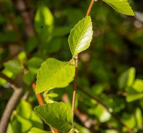 Bříza černá 'Summer Cascade' - Betula nigra 'Summer Cascade'