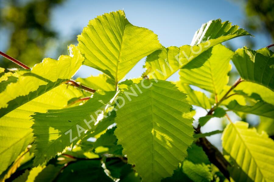 Habr obecný 'Frans Fontaine' - Carpinus betulus 'Frans Fontaine'