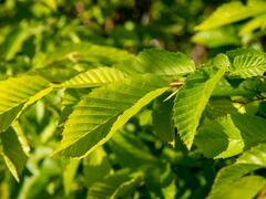 Habr obecný 'Pyramidalis' - Carpinus betulus 'Pyramidalis'