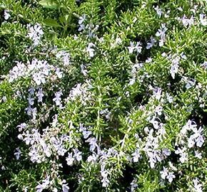 Rozmarýn lékařský 'Fine Leaved' - Rosmarinus officinalis 'Fine Leaved'