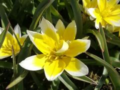 Tulipán botanický tarda - Tulipa tarda