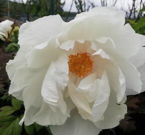Pivoňka dřevitá 'White' - Paeonia suffruticosa 'White'