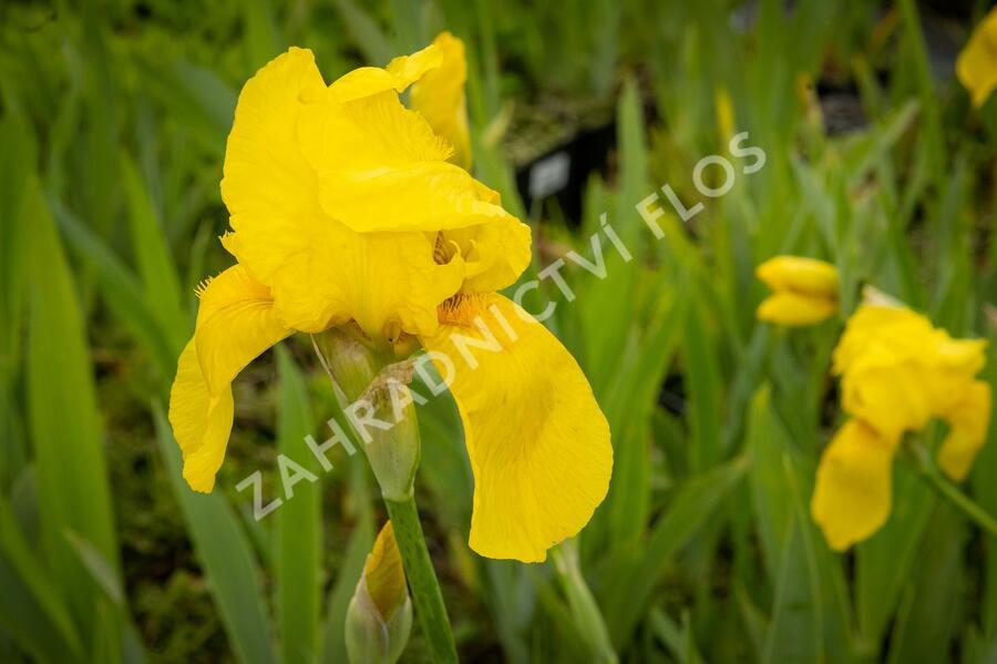 Kosatec německý 'St Crispin' - Iris barbata-elatior 'St Crispin'