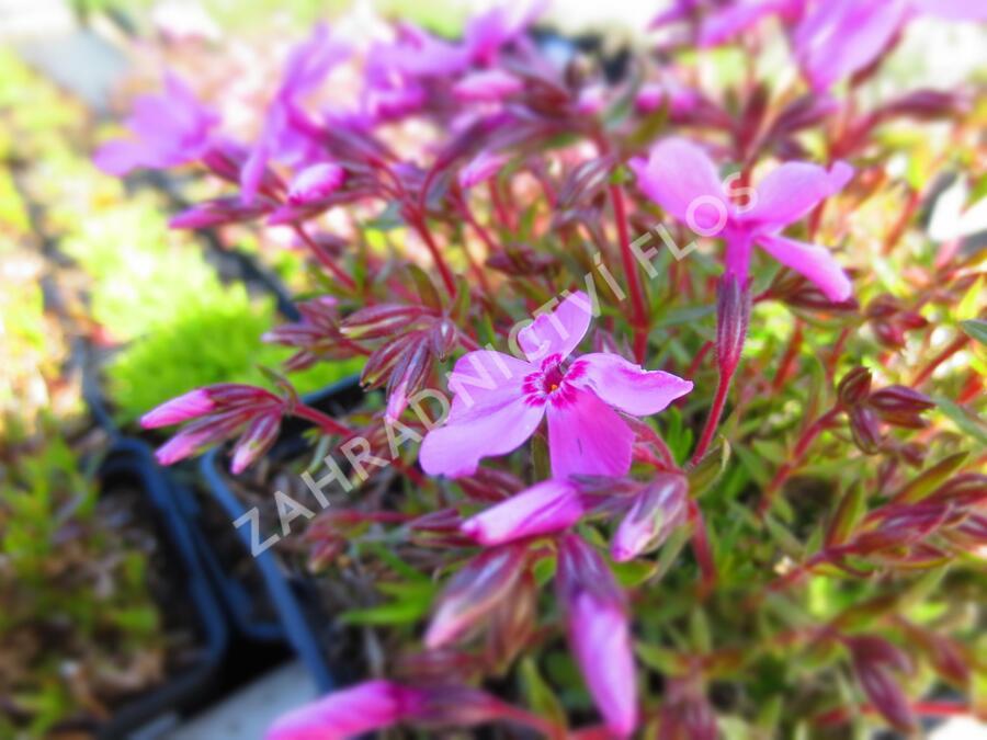Plamenka šídlovitá 'Spring Light Pink' - Phlox subulata 'Spring Light Pink'